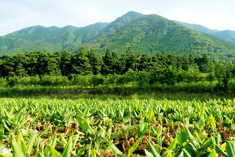 世界自然遺産の島、屋久島の山々の麓にあるこの土地でウコンの里のウコンは育ちます。