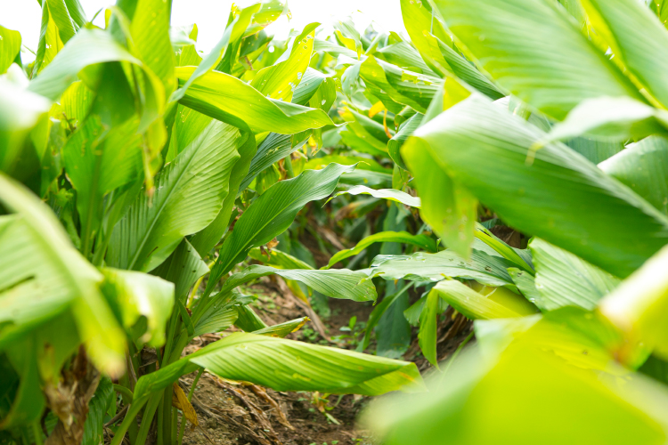 青々と茂ったウコンの葉はこの後、根に栄養を集めるため枯れていきます。