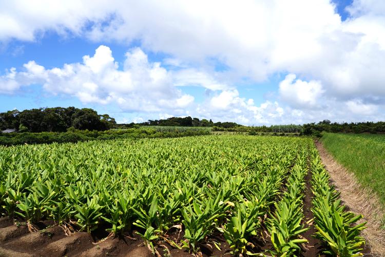 ウコン農園のご紹介